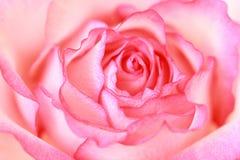Piękny, menchii róży zakończenie up Obraz Royalty Free