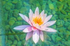 Piękny miękkich części menchii lotos z żółtym pollen w bagno stawie Różowy wodnej lelui kwiat z kopii przestrzenią dla teksta Tło zdjęcia royalty free