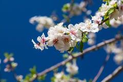 Piękny migdałowy drzewo kwitnie w wiośnie Zdjęcie Royalty Free