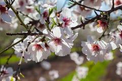 Piękny migdałowy drzewo kwitnie w wiośnie Zdjęcia Royalty Free