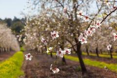 Piękny migdałowy drzewo kwitnie w wiośnie Obraz Royalty Free