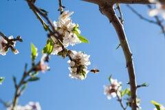 Piękny migdałowy drzewo kwitnie w wiośnie Obraz Stock