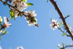 Piękny migdałowy drzewo kwitnie w wiośnie Zdjęcie Stock