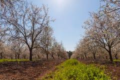 Piękny migdałowy drzewo kwitnie w wiośnie Zdjęcia Stock