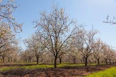 Piękny migdałowy drzewo kwitnie w wiośnie Fotografia Royalty Free