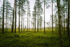 Piękny mire krajobraz w Finlandia - marzycielskim, mgłowy spojrzenie zdjęcia royalty free