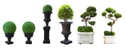Piękny mirtowy drzewo w granitowej wazie odizolowywającej zdjęcia royalty free