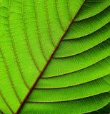 Piękny Mitragyna speciosa liścia tekstury zbliżenie Zdjęcie Royalty Free