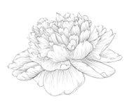 Piękny monochromatyczny czarny i biały peonia kwiat odizolowywający na białym tle Zdjęcie Royalty Free