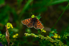 Piękny motyl na żółtym kwiacie fotografia royalty free