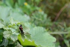 Piękny motyl na liściach porzeczkowy krzak Obraz Stock