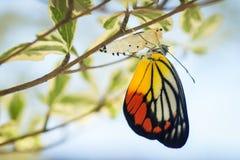 Piękny motyl wyłaniający się od swój kokonu obrazy stock