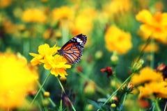 Piękny motyla pobyt w żółtych kwiatach Zdjęcia Royalty Free