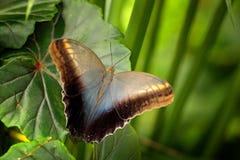 Piękny motyli Błękitny Morpho, Morpho peleides z ciemnym lasem, zielona roślinność, Costa Rica Insekt na zieleń liściach w tr obraz royalty free