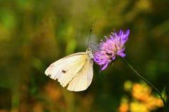 piękny motyli kwiat Naturalny kolorowy tło & x28; Pieris brassicae& x29; Obrazy Stock