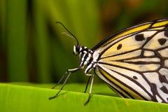 piękny motyli tropikalny kolor żółty Zdjęcie Royalty Free