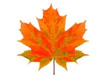Piękny multicolor liść klonowy odizolowywający na białym tle obraz stock