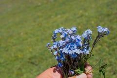 Piękny Myosotis kwitnie w ręce w naturze Zdjęcia Stock