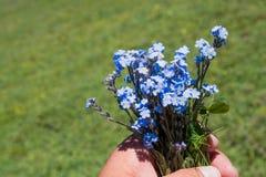 Piękny Myosotis kwitnie w ręce w naturze Obraz Royalty Free