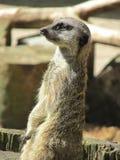 Piękny nadaremny meerkat zbliżenie Zdjęcie Stock