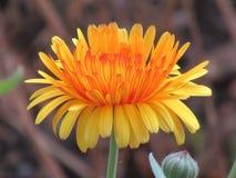 Piękny nagietek w kolorach kolory żółci i czerwieni, kwiat, natura obraz royalty free