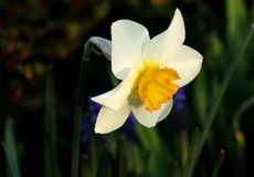 Piękny narcyz na nasz ogródzie Narcyz osada jest podstawowym kwiatem w czeskich ogródach zdjęcie royalty free