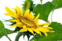 Piękny naturalny żółty słonecznik w ogródzie obraz royalty free