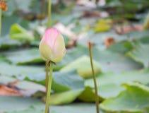 Piękny naturalny różowy kwitnący lotosowy kwiat w stawie fotografia royalty free