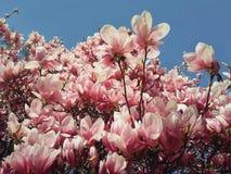 Piękny natury pojęcie, sezonowy plenerowy magnoliowy kwitnienie w ciepłym słonecznym dniu fotografia royalty free