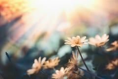 Piękny natury tło z dzikimi kolorów żółtych kwiatami, słońcem i Fotografia Stock