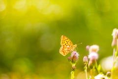 Piękny natury zakończenie, lato kwiaty i motyl pod światłem słonecznym, Spokojny natury tło Obraz Stock