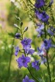 piękny niebieski blisko kwiaty, fotografia royalty free