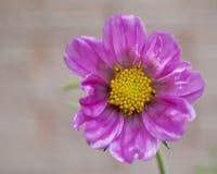 Piękny Niedokonany Różowy Pansy w deszczu Obraz Royalty Free