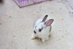 Piękny nowonarodzony dziecko królika traken w Asia łasowanie ma Fotografia Stock