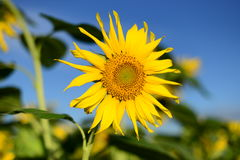 piękny obrazek Słonecznik Obrazy Royalty Free