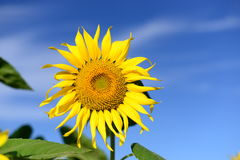 piękny obrazek wielki słonecznik Zdjęcie Stock