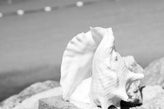 Piękny ocean, pamiątka, denna skorupy, seashell lub cockleshell, Zdjęcia Royalty Free