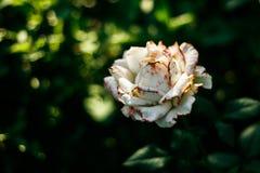 Piękny odosobniony biały aster Fotografia Stock