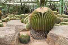 Piękny ogród duże kaktusowe rośliny zdjęcia royalty free