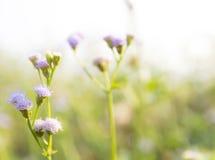 Piękny okwitnięcie kwiat w Tajlandia Zdjęcie Stock