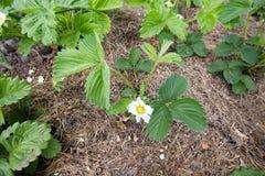 piękny okwitnięcie kwitnie wiosny truskawki Obrazy Stock