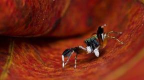 Piękny pająk na suchym liściu, Skokowy pająk w Tajlandia Obraz Royalty Free