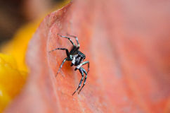 Piękny pająk na suchym liściu, Skokowy pająk w Tajlandia Obrazy Stock