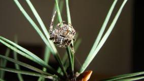 Piękny pająk | Sosna zdjęcia royalty free