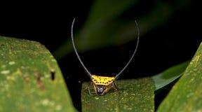Piękny pająk zieleni liść, Skokowy pająk w Tajlandia Obrazy Stock