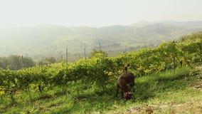 Piękny panoramiczny widok Włoska dolina z winnicą Brown mały koń pasa na je łąkowym, małym koniu, zbiory wideo