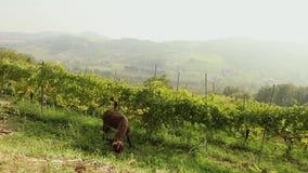 Piękny panoramiczny widok Włoska dolina z winnicą Brown mały koń pasa na je łąkowym, małym koniu, zdjęcie wideo