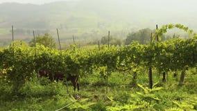 Piękny panoramiczny widok Włoska dolina z winnicami, konik je winogrona panorama zdjęcie wideo
