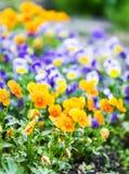 Piękny pansy, altówka lub fiołek, kwitniemy w ogródzie zdjęcia royalty free