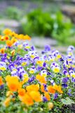 Piękny pansy, altówka lub fiołek, kwitniemy w ogródzie obraz stock